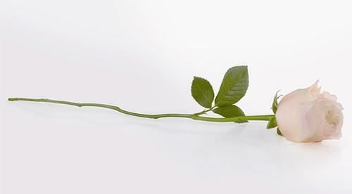 据说古罗马帝国都用玫瑰花环来装饰庭院,到处都会散发玫瑰怡人的芬芳.